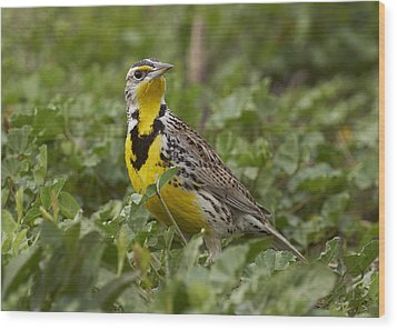 Western Meadowlark Wood Print by Doug Herr