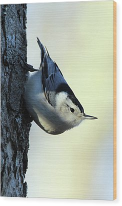 White Breasted Nuthatch Wading River New York Wood Print