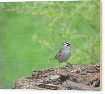 White Crowned Sparrow Wood Print by Rosanne Jordan