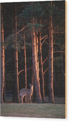 White-tail Deer Wood Print by Raju Alagawadi