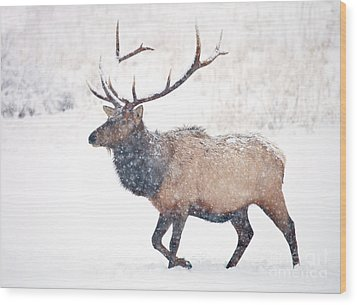 Wood Print featuring the photograph Winter Bull by Mike Dawson