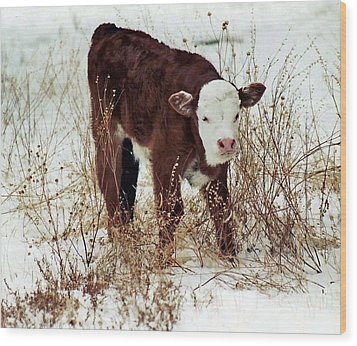 Wood Print featuring the photograph Winter Calf by Juls Adams