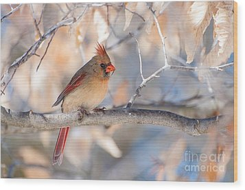 Winter Cardinal Wood Print by Debbie Green