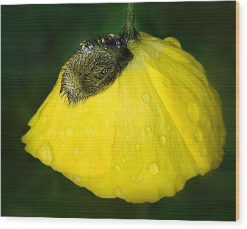 Wood Print featuring the photograph Yellow Poppy by Marilynne Bull