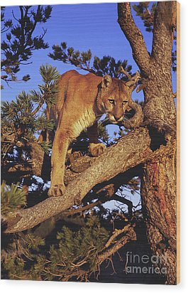 Mountain Lion Wood Print by Dennis Hammer