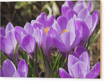 Purple Crocuses Wood Print by Irina Afonskaya