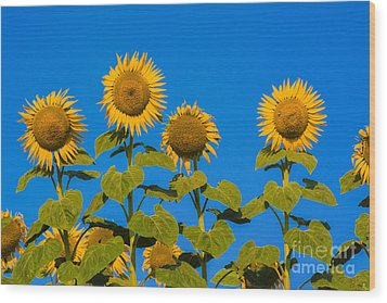Field Of Sunflowers Wood Print by Bernard Jaubert