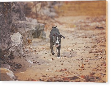 Wood Print featuring the photograph American Pitbull  by Peter Lakomy