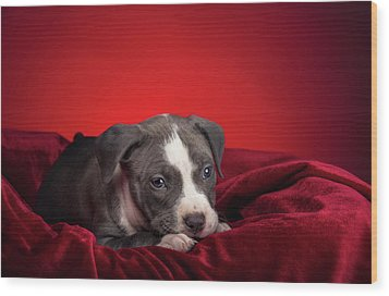 Wood Print featuring the photograph American Pitbull Puppy by Peter Lakomy