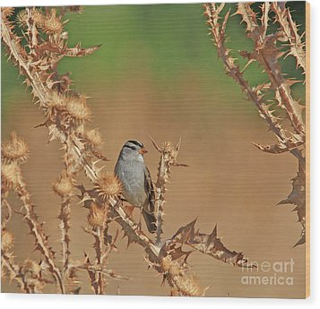 White-crowned Sparrow Wood Print