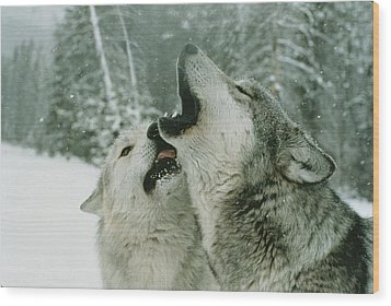 An Alpha Male Gray Wolf, Canis Lupus Wood Print by Jim And Jamie Dutcher