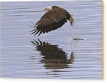 Bald Eagle Flying Wood Print by Ed Book