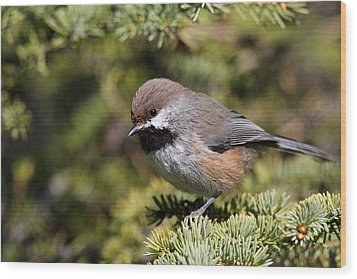 Boreal Chickadee Wood Print