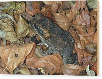 Cane Toad Wood Print by Breck Bartholomew
