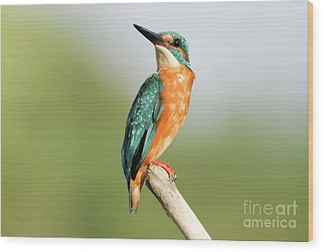 Common Kingfisher Alcedo Atthis Wood Print