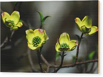 Dogwood Blossoms Wood Print by Kathleen Stephens
