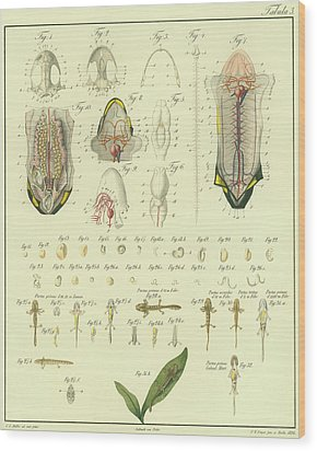 Wood Print featuring the drawing Fire Salamander Anatomy by Christian Leopold Mueller