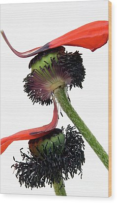 Flower Poppy In Studio Wood Print by Bernard Jaubert