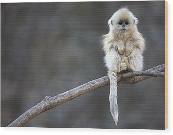 Golden Snub-nosed Monkey Rhinopithecus Wood Print by Cyril Ruoso