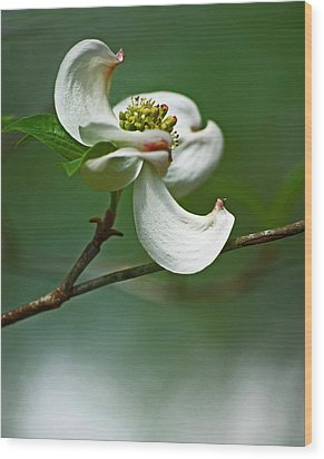 Graceful Dogwood Wood Print