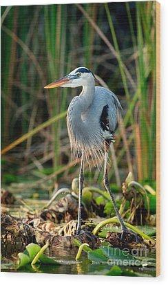 Great Blue Heron Wood Print by Matt Suess