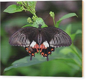 Great Mormon Butterfly Wood Print by Ronda Ryan