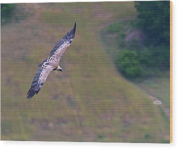 Griffon Vulture Flying, Drome Provencale, France Wood Print