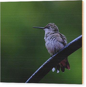 Hummingbird Portrait Wood Print by Ronda Ryan