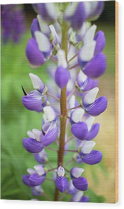 Wood Print featuring the photograph Lupine Blossom by Robert Clifford