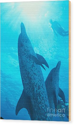Pair Of Spotted Dolphins Wood Print by Ed Robinson - Printscapes