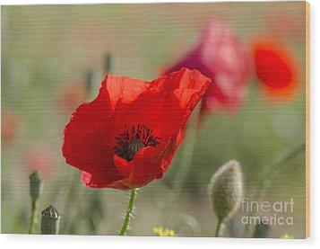 Poppies In Field In Spring Wood Print by Perry Van Munster