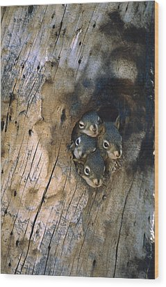 Red Squirrel Tamiasciurus Hudsonicus Wood Print by Michael Quinton