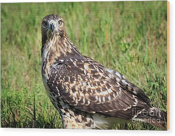 Red-tail Portrait Wood Print