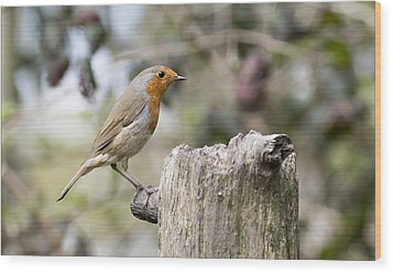 Wood Print featuring the photograph Robin by Steven Poulton