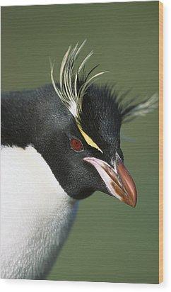 Rockhopper Penguin Eudyptes Chrysocome Wood Print by Tui De Roy