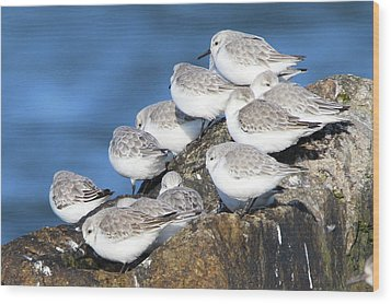 Sanderling Westhampton New York Wood Print