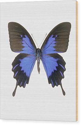 Swallowtail Butterfly Wood Print by Lawrence Lawry