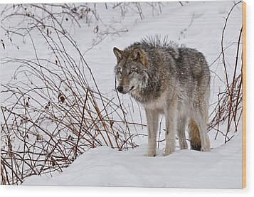 Timber Wolf In Winter Wood Print by Michael Cummings
