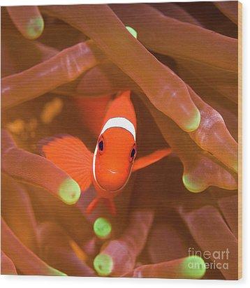 Tropical Fish Clownfish Wood Print by MotHaiBaPhoto Prints