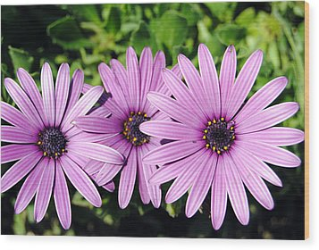 The African Daisy 2 Wood Print