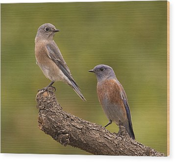 Western Bluebird Wood Print by Doug Herr