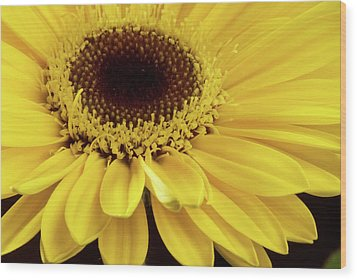 Yellow Gerbera Daisy Wood Print