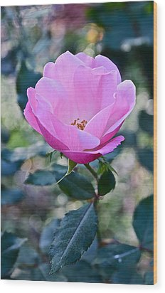 2015 After The Frost At The Garden Pink  Rose Wood Print