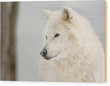 Arctic Wolf Portrait Wood Print by Michael Cummings