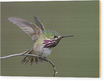 Calliope Hummingbird Wood Print by Doug Herr