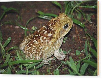 Wood Print featuring the photograph Cane Toad by Breck Bartholomew