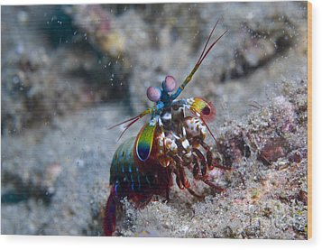 Close-up View Of A Mantis Shrimp, Papua Wood Print by Steve Jones