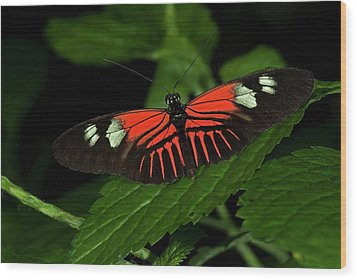 Doris Longwing Butterfly Wood Print by JT Lewis