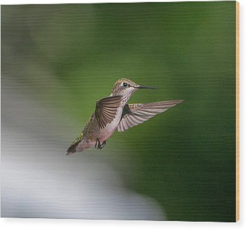 Female Ruby Throated Hummingbird Wood Print by Brenda Jacobs