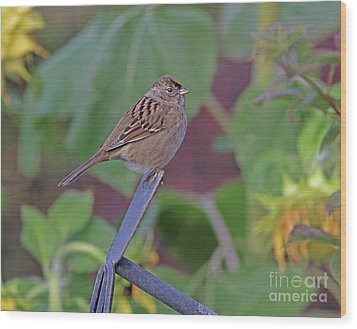 Golden-crowned Sparrow Wood Print